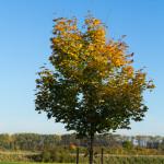 Ahorn-Herbst