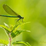 Libelle auf Brennessel