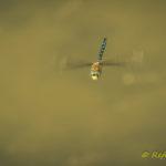 Königslibelle im Flug