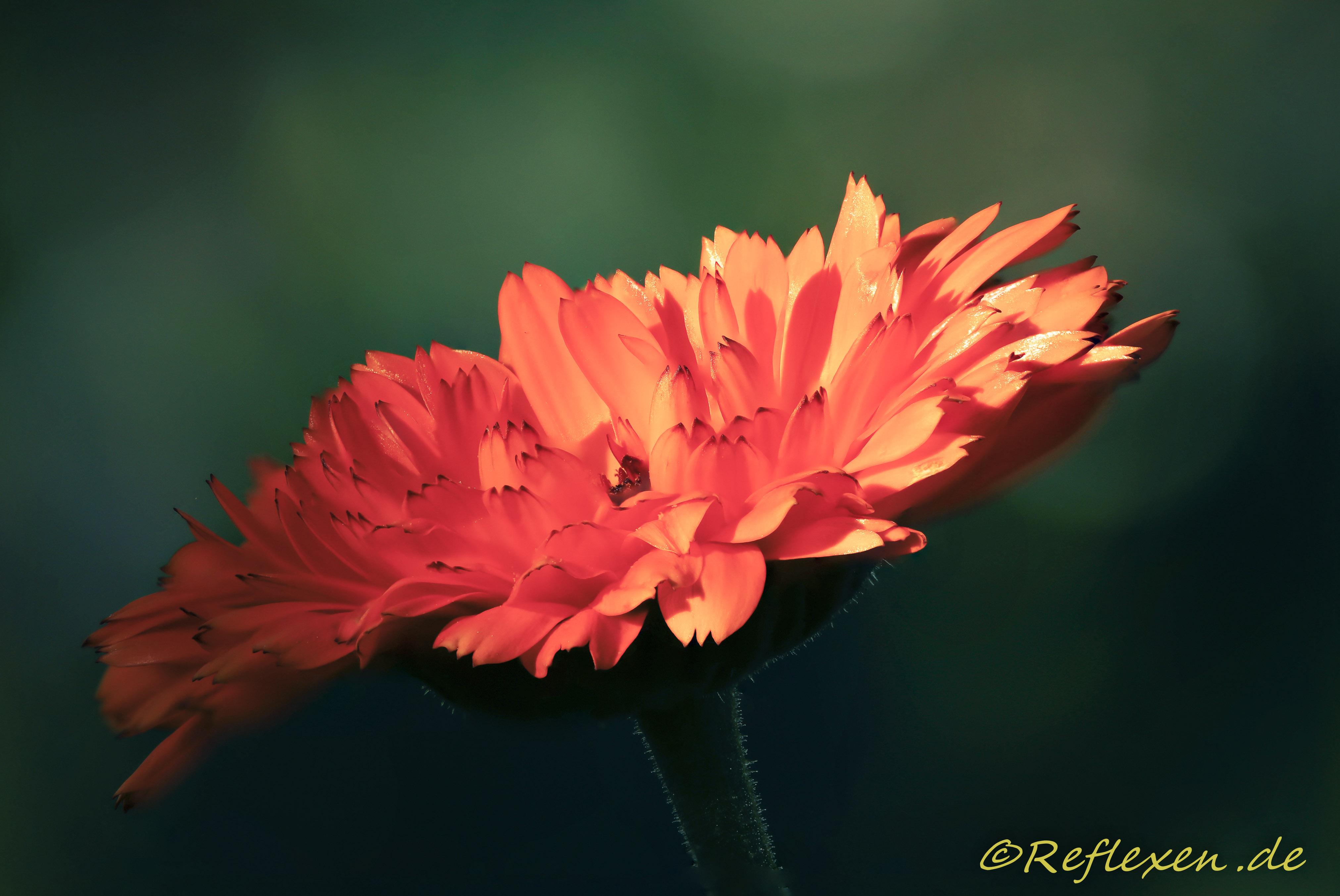Rote Feldblume