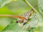 Skorpionfliege auf Blatt