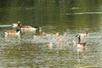 Kanadagans Schaar mit Jungvögeln