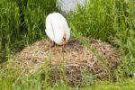 Schwanin auf Nest