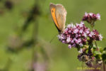 Schmetterling neben Biene