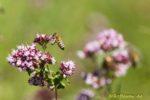 Biene landet auf Blüte