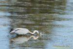 Graureiher taucht mit Kopf unter Wasser