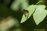 Schmetterling auf Blatt im Wald