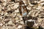 Schmetterling auf Kackbobbl