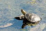Schildkröte wärmt sich auf einem Ast im Wasser