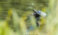 Europäische Sumpfschildkröte auf Ast