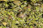 Wasserfrosch schaut unter dem Wasser hervor.