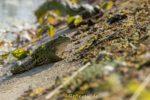 Wasserfrosch Prachtexemplar