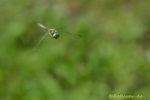 Smaragdlibelle hält Ausschau