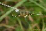 Wespenspinne im Netz