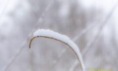 Schnee auf Halm